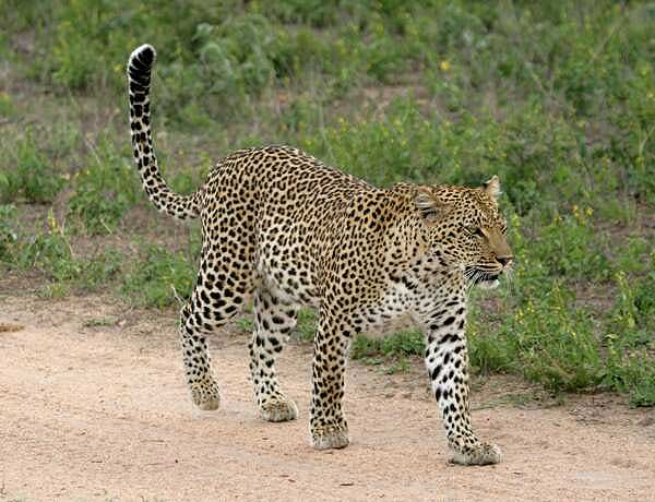 Leopard walking on sandy road
