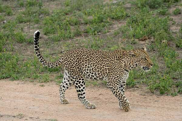 Leopard walking along sandy track