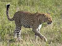 Leopard Walking in Short Grass