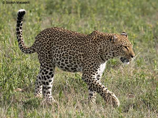 Leopard walking in grassland