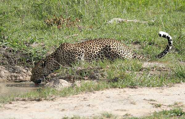 Leopard drinking from waterhole