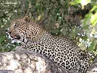 Male Leopard Lying on Tree Branch