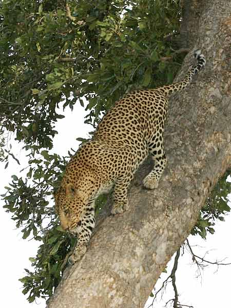 Leopard climbing down tree trunk