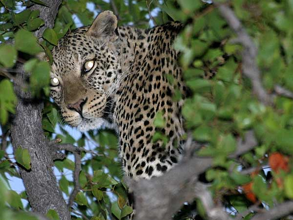 Leopard hiding in tree