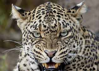Leopard snarling, close-up