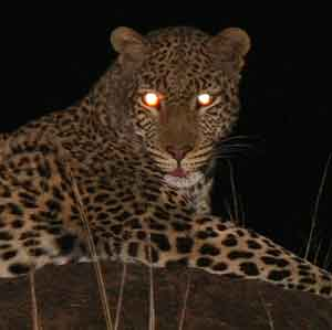Leopard caught in light of camera flash