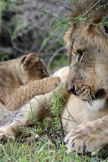 Lion cub reaching out to big male lion