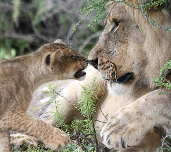 Lion cub and male lion rub noses