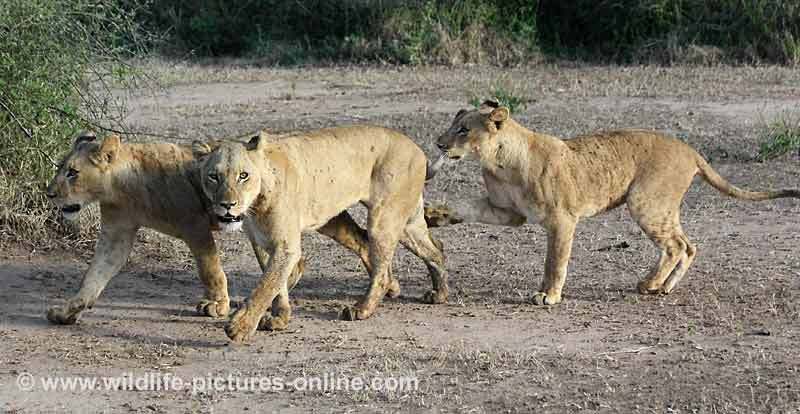 Young lioness reaches out to her mother with paw, Lower Zambezi, Zambia
