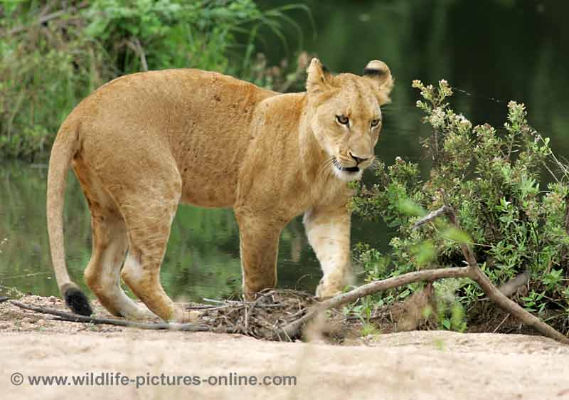 Juvenile lioness moving nervously along river bank