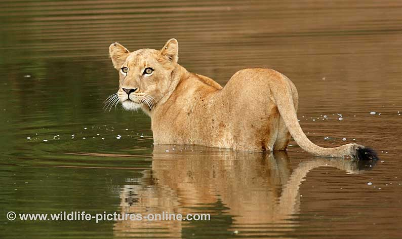 Lion cub in river looks back at safety of land, Lower Zambezi, Zambia
