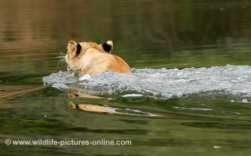 Lion cub swimming river, Lower Zambezi NP, Zambia