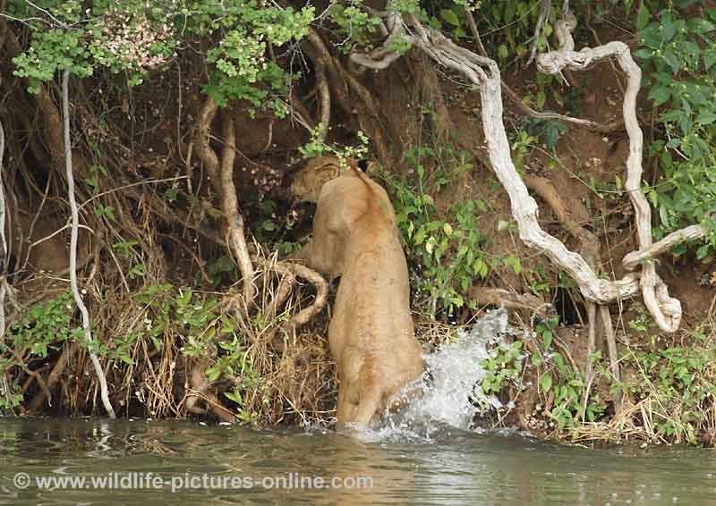 Young lioness climbs out of river, Lower Zambezi, Zambia