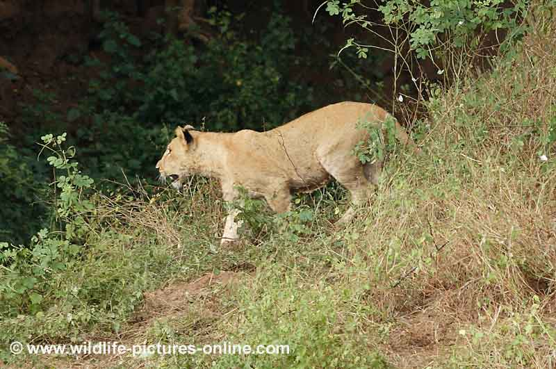 Lion cub goes in search of mother, Lower Zambezi, Zambia
