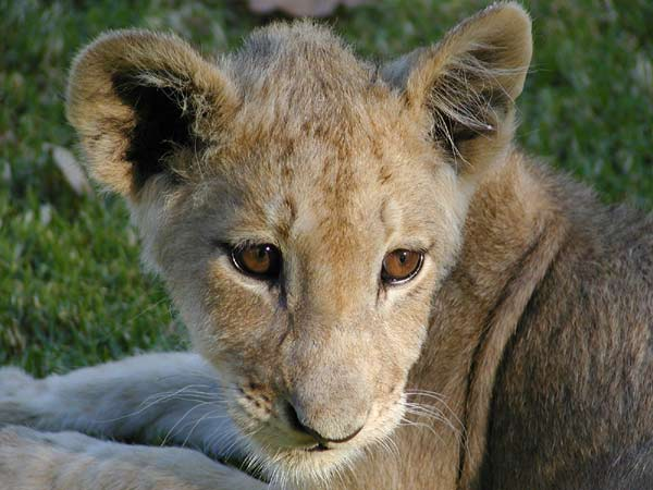 Picture of lion cub