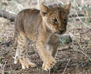 Lion cub with spots on Lion Information
