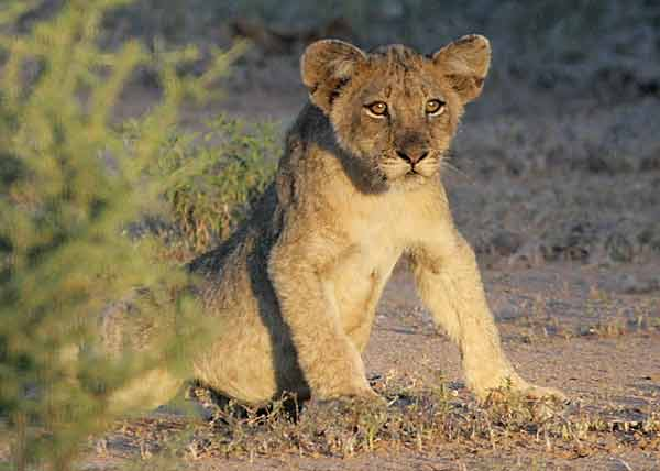 Lion cub in watchful mode