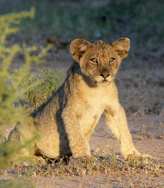 Lion cub in warm afternoon sun