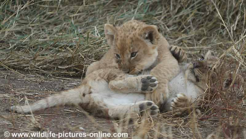 Lion cub learning attack skills, Mashatu Game Reserve, Botswana