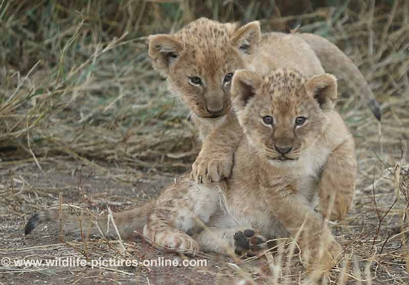 Pair of cute lion cubs, Mashatu Game Reserve, Botswana