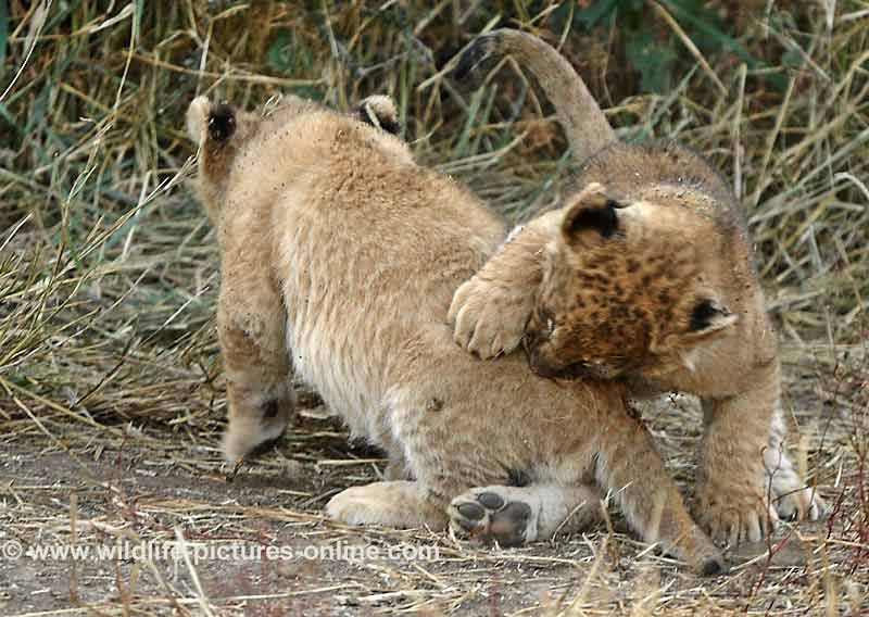 Lion cub nipping sibling on rump, Mashatu Game Reserve, Botswana