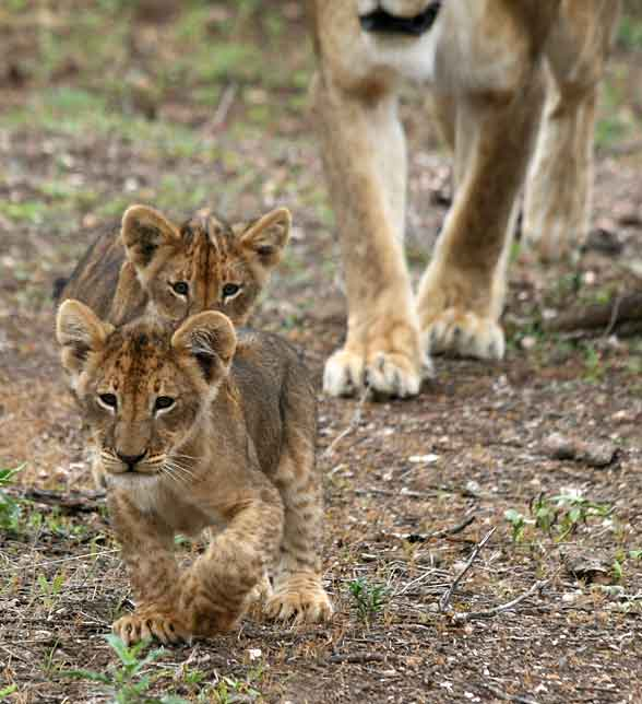 Lion cubs out walking