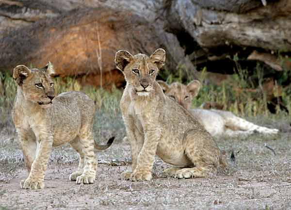 Trio of Lion Cubs