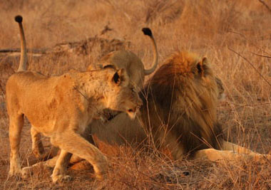 Female lions ready to take on male lion