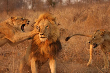 Lion Fight Sequence