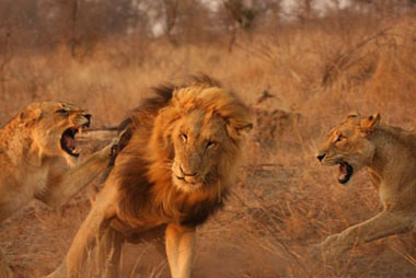 Female lions attacking male, Sabi Sand