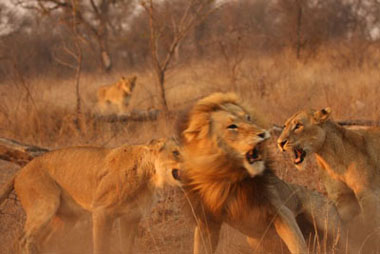 Female lions attacking male, Sabi Sand Game Reserve