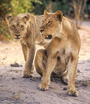 Two lions on alert, Chobe National Park, Botswana