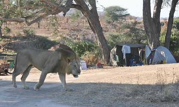 Male lion visiting our camp, Ruaha National Park, Tanzania