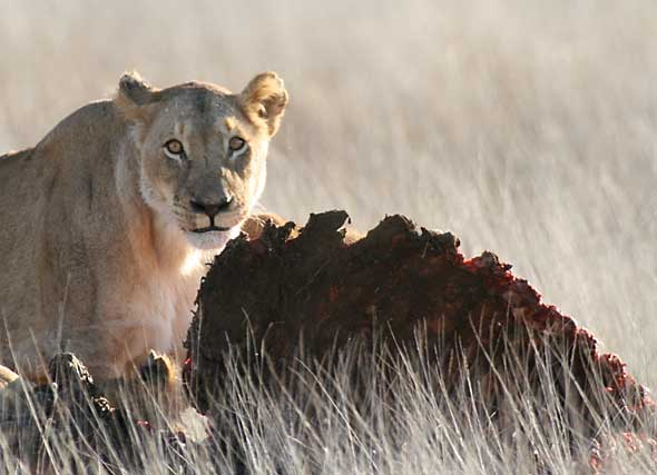 Lioness on buffalo kill