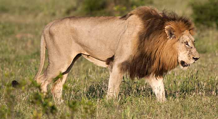 Big male lion with black mane, Kruger National Park