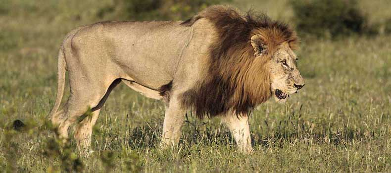 Male lion walking side view, Kruger National Park, South Africa