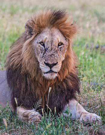 Lion male with black mane, Kruger National Park