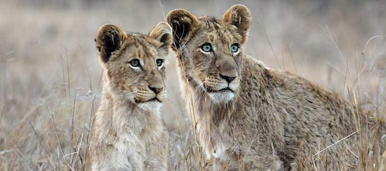 Pair of young lions on alert, Kruger National Park, South Africa
