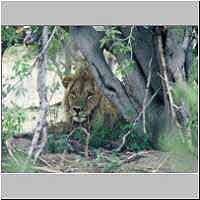 Lion male lying under bush in shade