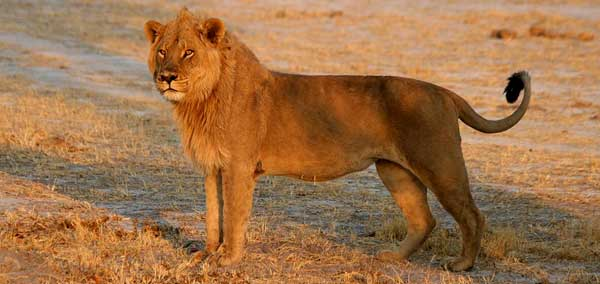 Male lion (Panthera leo), side view