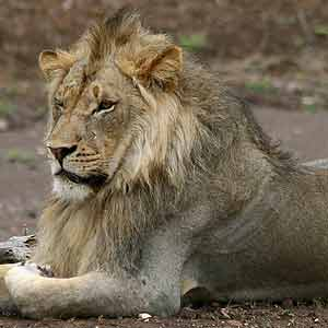 Lion male with silvery gray coat