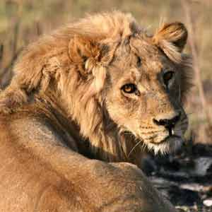 Lion male with reddish coat