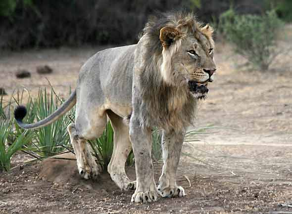 Lion male marking his territory in scuffing ceremony