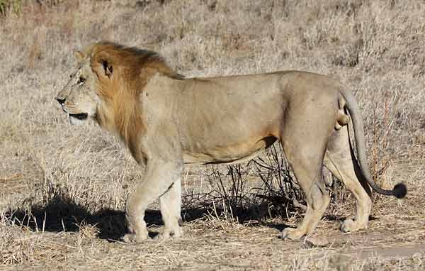 Male lion, Ruaha National Park, Tanzania