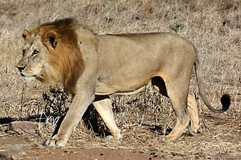 Male lion heading for water, Ruaha National Park, Tanzania
