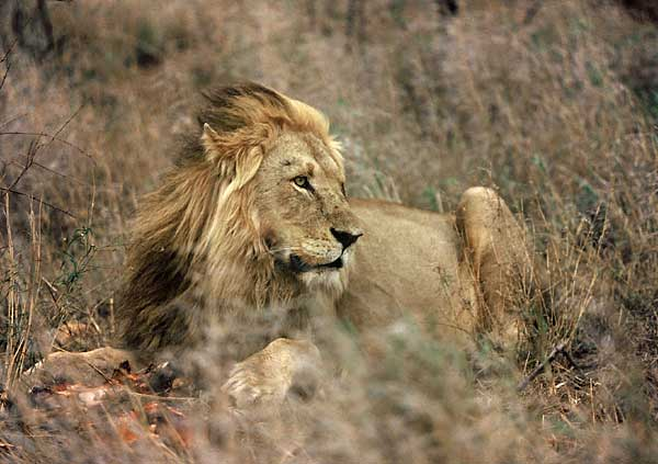 Lion male lying in winter grass, Kruger Park, South Africa