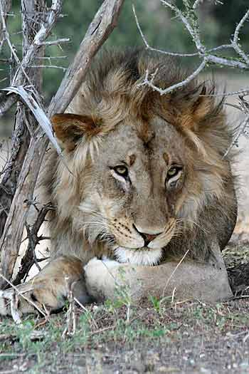 Lion male lying in shade, Mashatu Game Reserve, Botswana