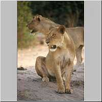 Lioness with young male lion, Chobe, Botswana