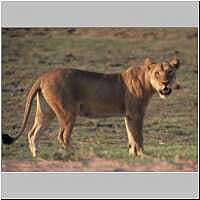 Lioness standing, side view