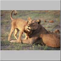 Lioness with affectionate cub, Botswana